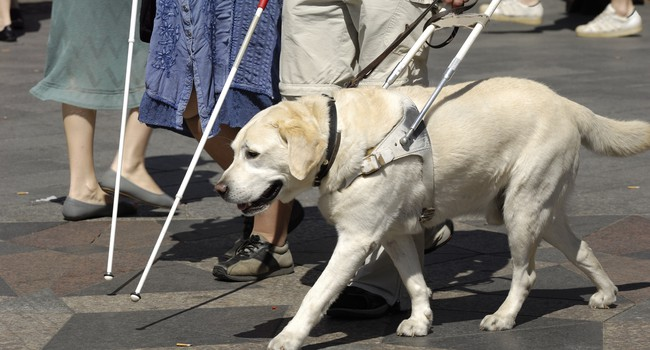 A guide dog is shown next to the lower half of a person holding a white cane.